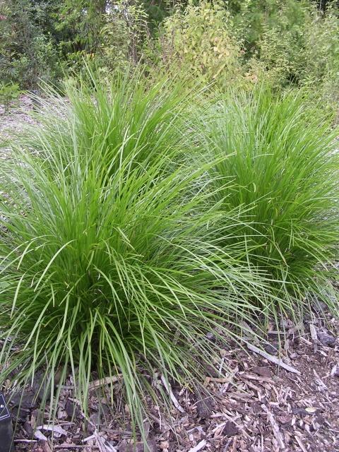 33 best landscaping ideas images on pinterest flower for Landscaping grasses varieties