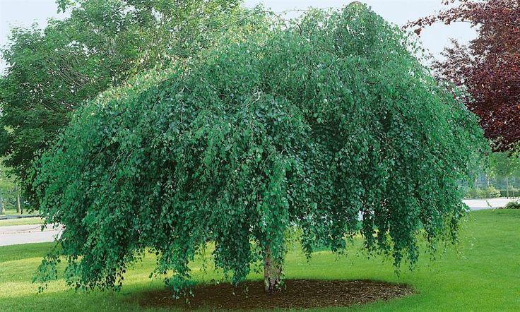 Hengebjørk, Betula pendula