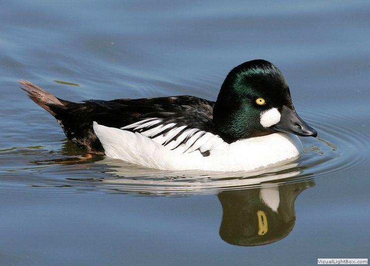 All Types of Duck Species - Quickly Identify Wild Ducks