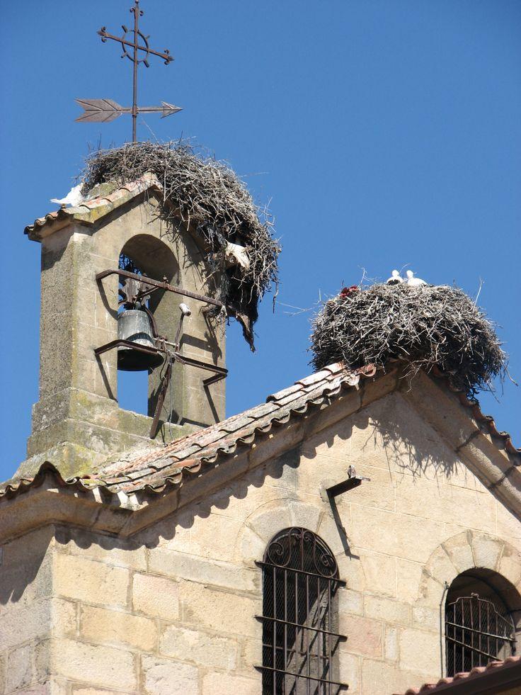 Los pollos de cigüeña crecen en el campanario de la iglesia de Zarza de Granadilla, primavera del 2014.