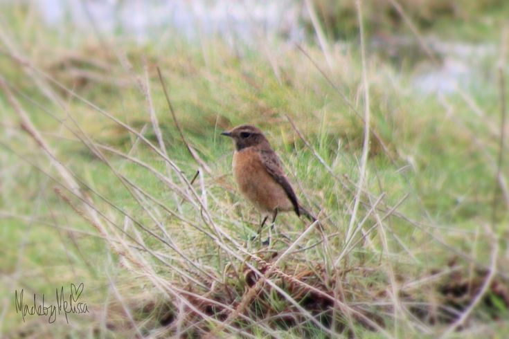 Female stonechat  Original photography by Melissa roberts 2017