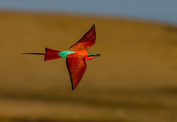 2014-10-08 Southern Carmine Bee-eater in Zambia. More birds from Africa: http://timohavimo.1g.fi