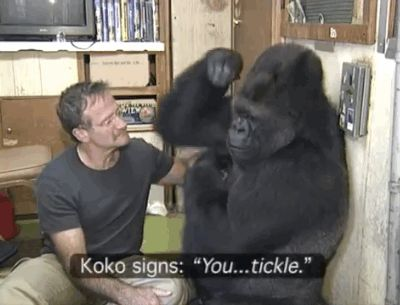 """Dr. Patterson also shared her memories of the actor's visit. """"Robin made Koko smile — something she hadn't done for over six months, ever since her childhood gorilla companion, Michael, passed away.""""   These Photos Of Koko The Gorilla Mourning The Loss Of Robin Williams Are Incredibly Moving"""