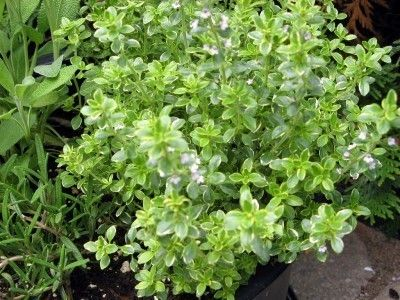 Lemon Thyme Herbs: How To Grow Lemon Thyme Plants - Growing lemon thyme plants (Thymus x citriodus) are a lovely addition to an herb garden, rock garden or border or as container plants. A popular herb grown not only for its culinary uses but for its attractive foliage, lemon thyme plants can be planted to form a ground cover or among pavers along a path or patio. The tiny flowers are a bee attractor, aiding in the pollination of surrounding plants.