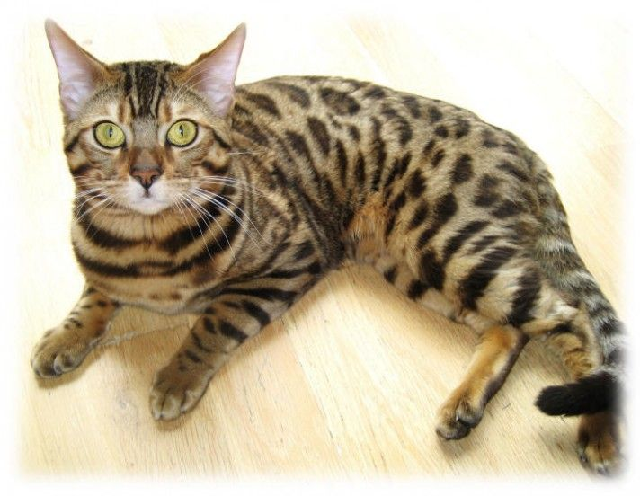 Bengal cats for sale in delaware