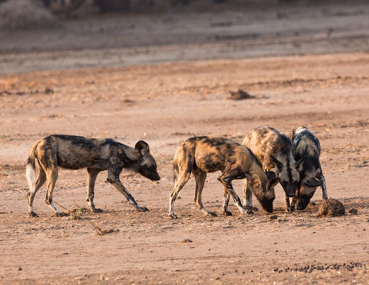 Wild African Dogs and are often called Painted Dogs. There are only approximately 2000 of these beautiful dogs left in the world. This photo was taken in Zambia at the Lower Zambezi National Park.