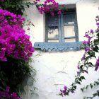 La buganvilla (bougainvillea glabra) http://www.viviendoelcampo.com/