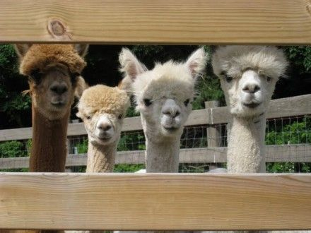 Some of the alpaca gang at Spruce Ridge Farm
