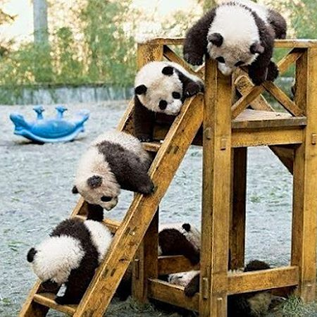 Pandas playing on a slide <3. OMG THIS PICTURE IS SO VERY CUTE, CUB BEAR'S PLAYING ON A SLIDE.. LOVE <3 IT... :) :) :) :)...