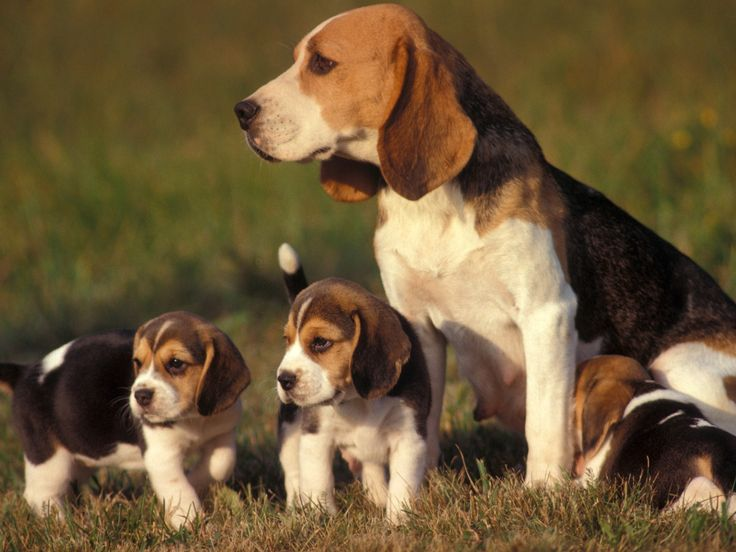 Beagle family. This reminds me of when Grandpa's beagle Jill had her puppies. They were so cute.