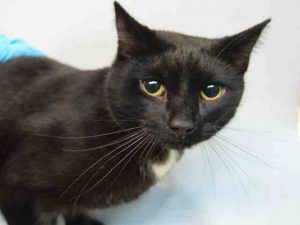 "SEVERUS – A1061167 - 2yrs NEUTERED MALE, BLACK / WHITE, DSH **RETURN** Owner dumped poor Severus back at the shelter for having ""no time"" for his cat. Severus is very upset and needs a new home asap!"