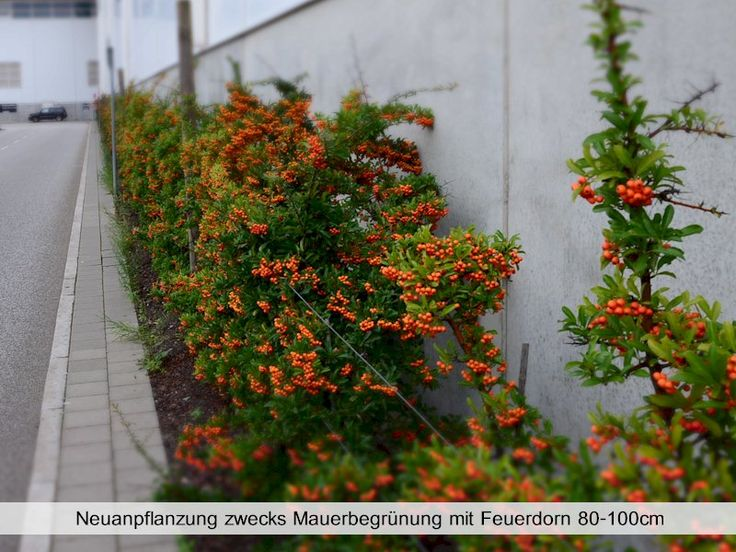 17 best ideas about feuerdorn on pinterest bonsai. Black Bedroom Furniture Sets. Home Design Ideas