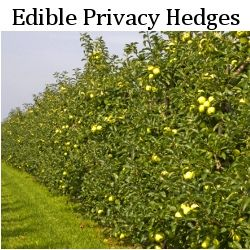 Edible Garden #Hedges! How To Grow Edible #Landscape Hedges | via Edible Landscape Design  #gardening