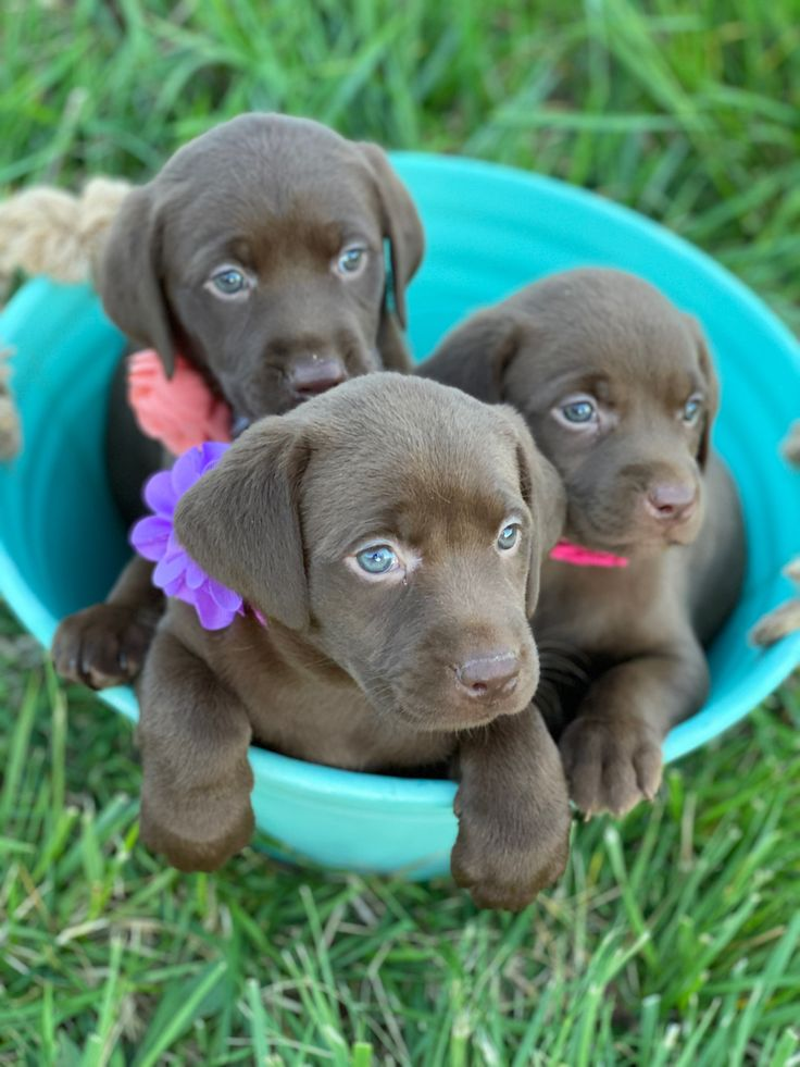 Chocolate labs in 2020 yellow lab puppies lab puppies