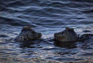 Sono stati applicati dei gps su undici esemplari di foca grigia per controllare i loro comportamenti in prossimità delle pale eoliche nei parchi offshore. A quanto pare sono molto attratte dalle pale eoliche. Curiosità o c'è un motivo?