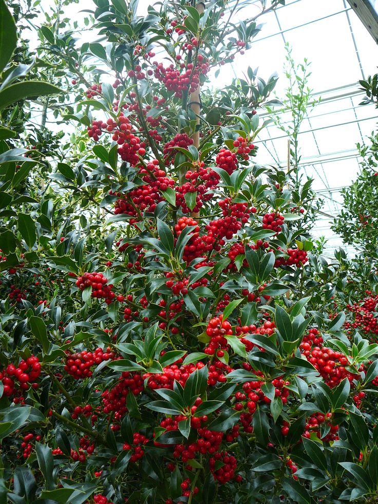 Ilex aquifolium 'Alaska' / hulst