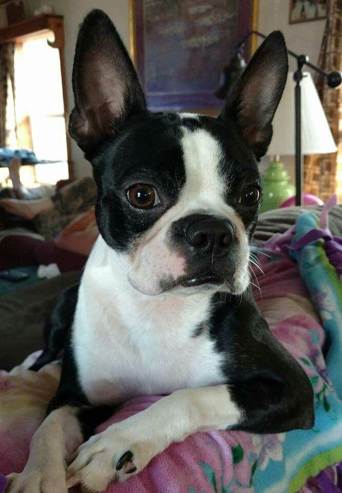 a very aware Boston terrier