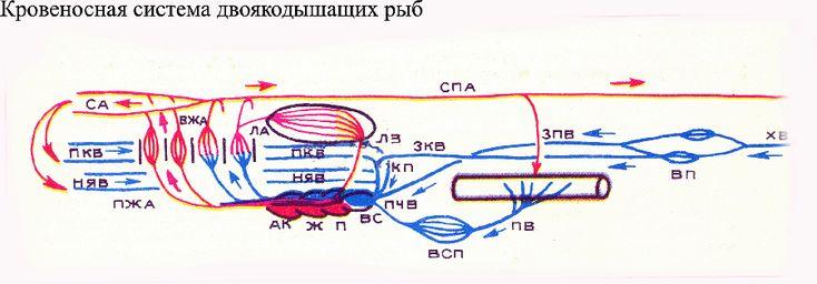 Кровеносная система двоякодышащих