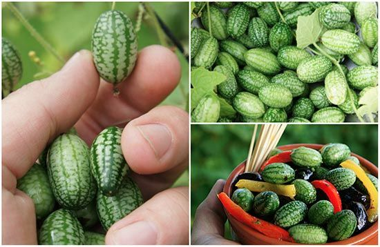 How To Grow Cucamelons: - What Are Cucamelons you may ask well a Cucamelon is…