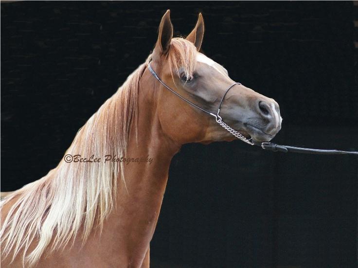 Arabian horse  Sony A33