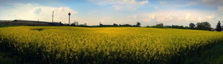 Canola field in South Slovakia. No.4