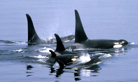 Vancouver Island Canada. Another reason to go.Orcas Whales Canada, Killers Whales, Whales Watches,  Orcinus Orcas, Vancouver Islands, Orcas Families,  Grampus,  Sea Wolf,  Killers