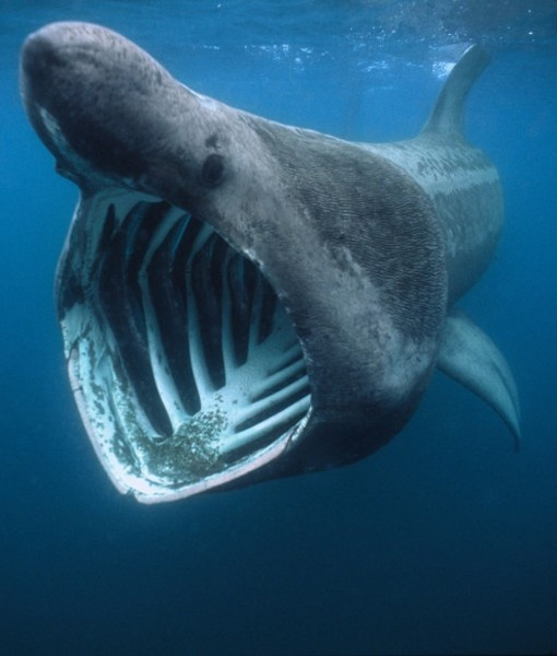 17 best images about sharks on pinterest great white for Longest living fish