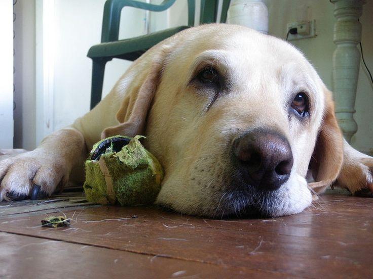 Displasia de cadera en perros: descubre cómo combatirla