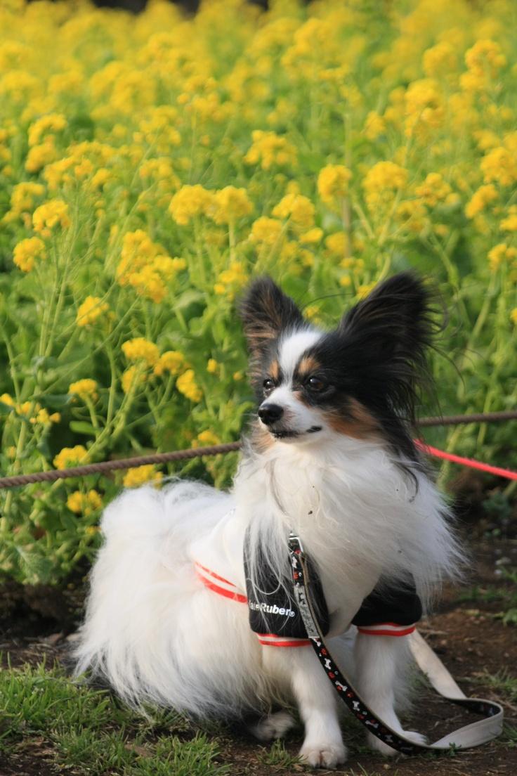 43 best Pappilon dogs images on Pinterest | Papillon dog ...