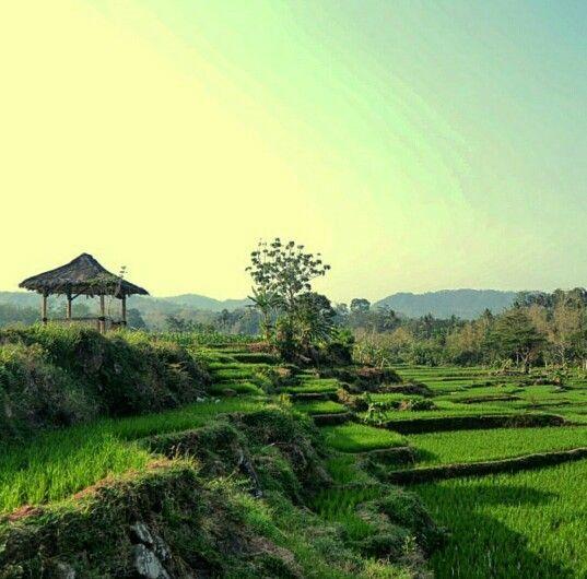 Sawah padi di bukittinggi