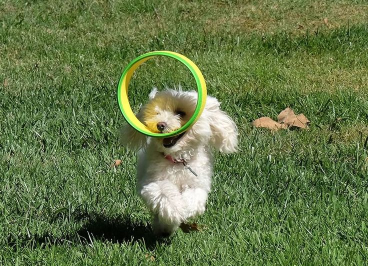 HurriK9 Flying Dog Ring Launcher Shoots Rings Over 100 Feet For Fido To Chase  #dogs #fun #toys Having a dog is like having a best friend to hang-out with anytime you want, especially when it's time to go outside and play. Traditional dog toys ...