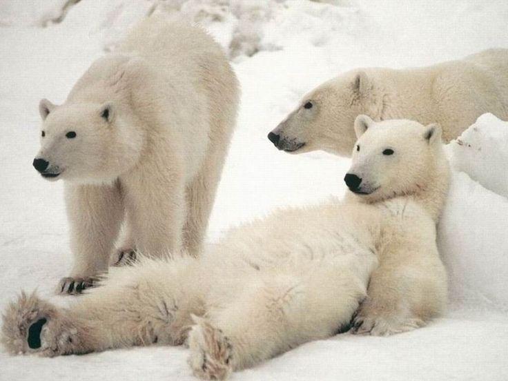 Save the Polar Bears!❤