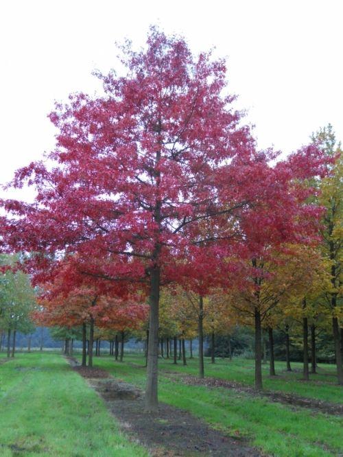Quercus palustris #tree #autumn #colours www.vdberk.co.uk