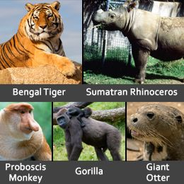 Endangered rainforest animals like Bengal tiger, Sumatran rhinoceros, proboscis monkey, giant otter