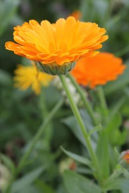 20 best images about garten tagetes und ringelblume pflanzen on pinterest plant pots south. Black Bedroom Furniture Sets. Home Design Ideas