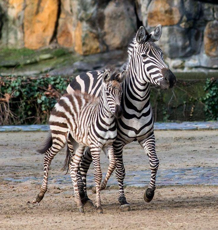Mejores 51 imágenes de Zebras en Pinterest | Animales salvajes ...