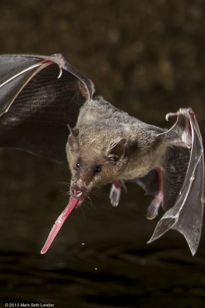 Nectar bats have long tongues in order to drink and eat insects and pollen.