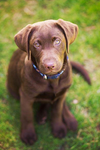 Ziggy 13 weeks old | Flickr - Photo Sharing! Chocolate labrador puppy