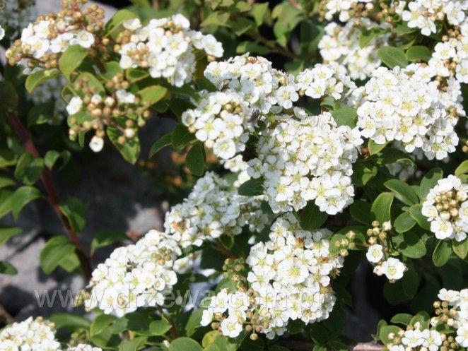 """Tawuła japońska 'White Gold' Spiraea japonica 'White Gold - odmiana o śnieżnobiałych kwiatach; odmianę tą warto sadzić z odmianą """"golden princess"""" - po rozroś nięciu, kwitnące pędy białe i różowe będą się ładnie przenikać"""