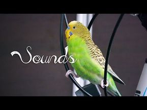 Most Beautiful Budgie songs Ever: Budgies singing and