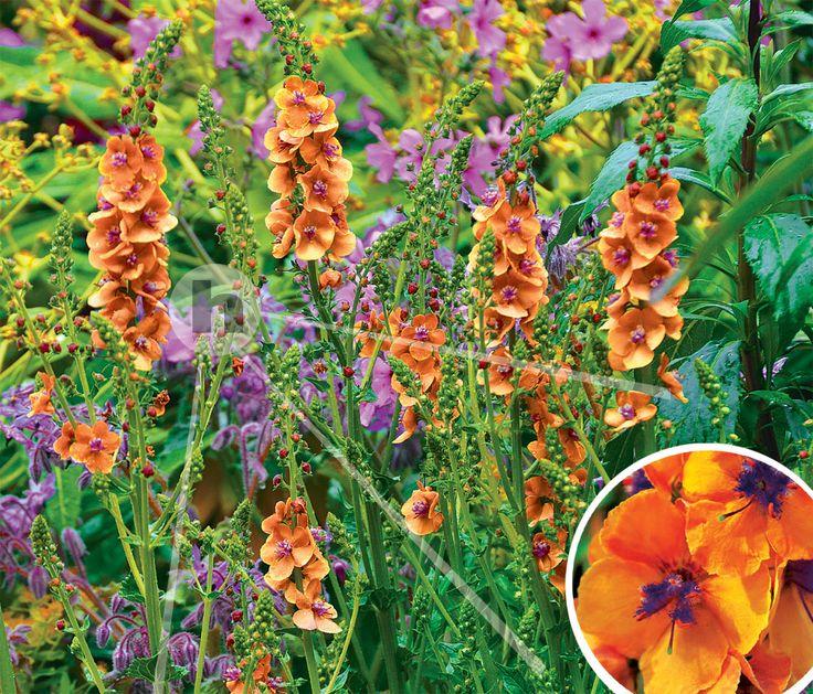 Dziewanna Verbascum Clementine Hyzop - sklep ogrodniczy