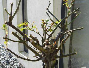 Pruning Rose Bushes is not rocket science! Instructions for pruning roses, deadheading roses and when to prune roses. A rose pruning 101.