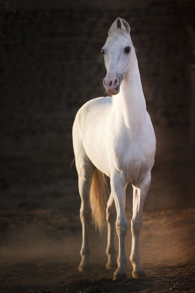 Marwari Dilsher - Christiane Slawik  The beautiful and proud Marwari horse originates in India…it's a rare breed descended from war horses that were ridden by the ruling families and warriors of feudal India.