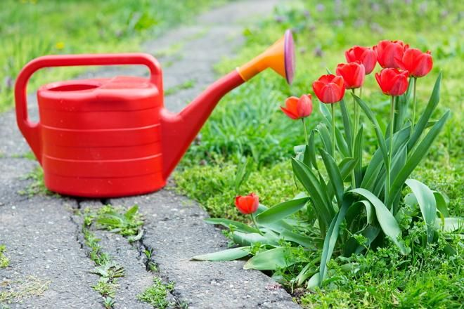 Подкормка тюльпанов: На протяжении всего периода вегетации следует провести 3-4 подкормки:      Весной, как только сойдет снег и оттает земля, в почву вносят только азотные удобрения (20 г аммиачной селитры на 1 кв.м). Эта подкормка стимулирует рост листьев.     При появлении первых бутонов (вносят 20 г аммиачной селитры, 10 г мочевины и 10 г суперфосфата на 1 кв.м).     Во время цветения и спустя 1-2 недели после его окончания (30 г суперфосфата и 15 г калийной селитры на 1 кв.м).