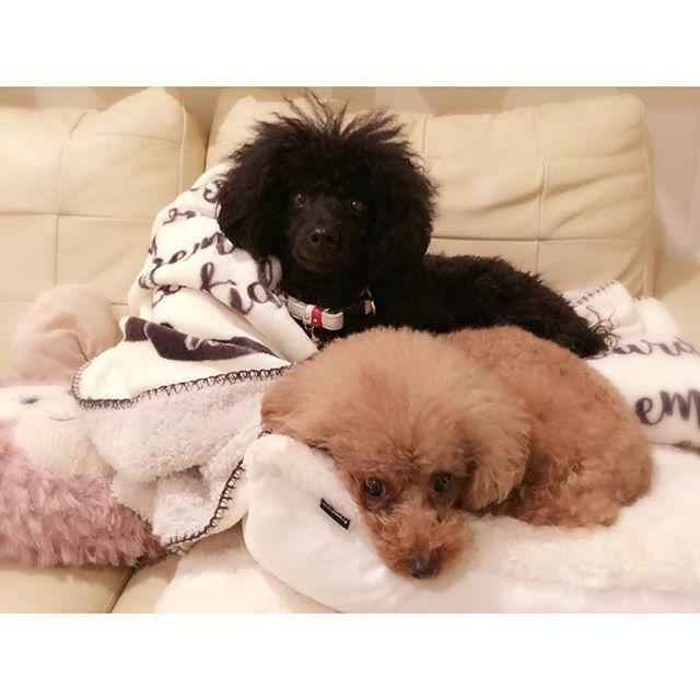 2018.01.11(木) dog ❁︎仲良し兄妹 ・ 今日は本当に寒くて〜引っ付いて寝る。 ママがリビングに居ると〜こんな感じ。 ・ ママがお部屋のコタツに行くと〜兄妹も〜コタツへ〜 ・ プードルは寒がりね。 ・ #dog#愛犬#犬バカ部 #仲良し兄妹#いつも一緒#暮らしを楽しむ#丁寧な暮らし#日々の暮らし#トイプードル#プードル#Poodles#多頭飼い#リビング#暖を取る#かわいい