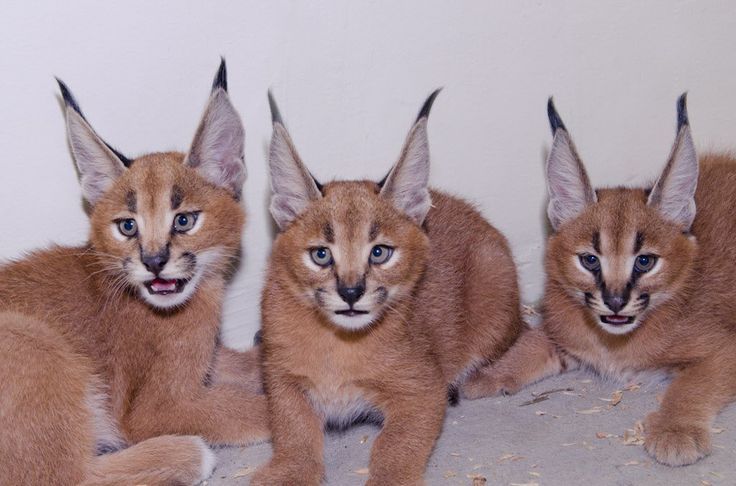 Cats caracal and for sale on pinterest