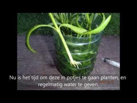 ▶ Het stekken van lavendel - YouTube
