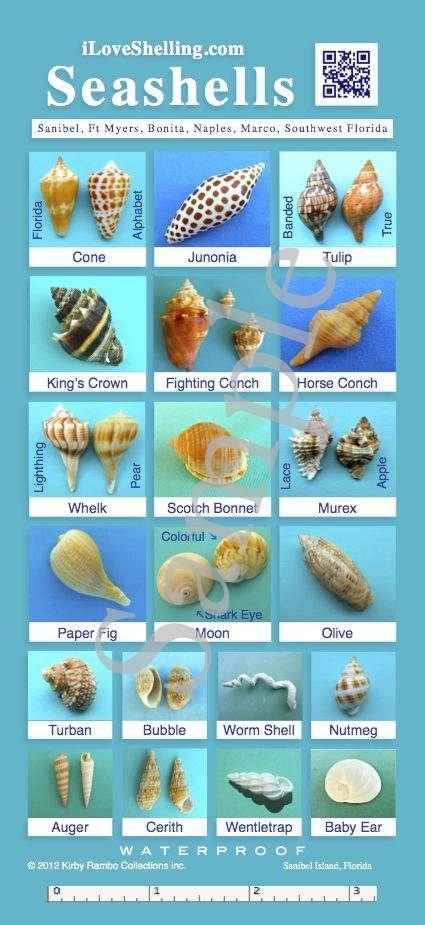 Seashells Identification Guide | iLoveShelling.com WATERPROOF Seashell Identification Guide