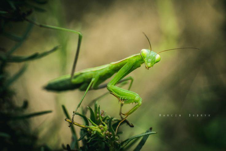 Mantis religiosa - Spotkałem ją zupełnie przypadkiem. Nawet bym się nie spodziewał, że nadarzy mi się okazja sfotografować tego owada, a tu proszę... Osobnik jeszcze młody, bez wykształconych skrzydeł. I strasznie ciekawski! Mam nadzieję, że spotkam dorosłe osobniki w sierpniu.