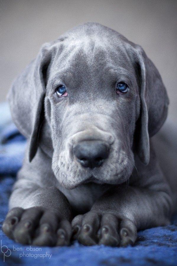 Cachorro Gran danes ojos azules